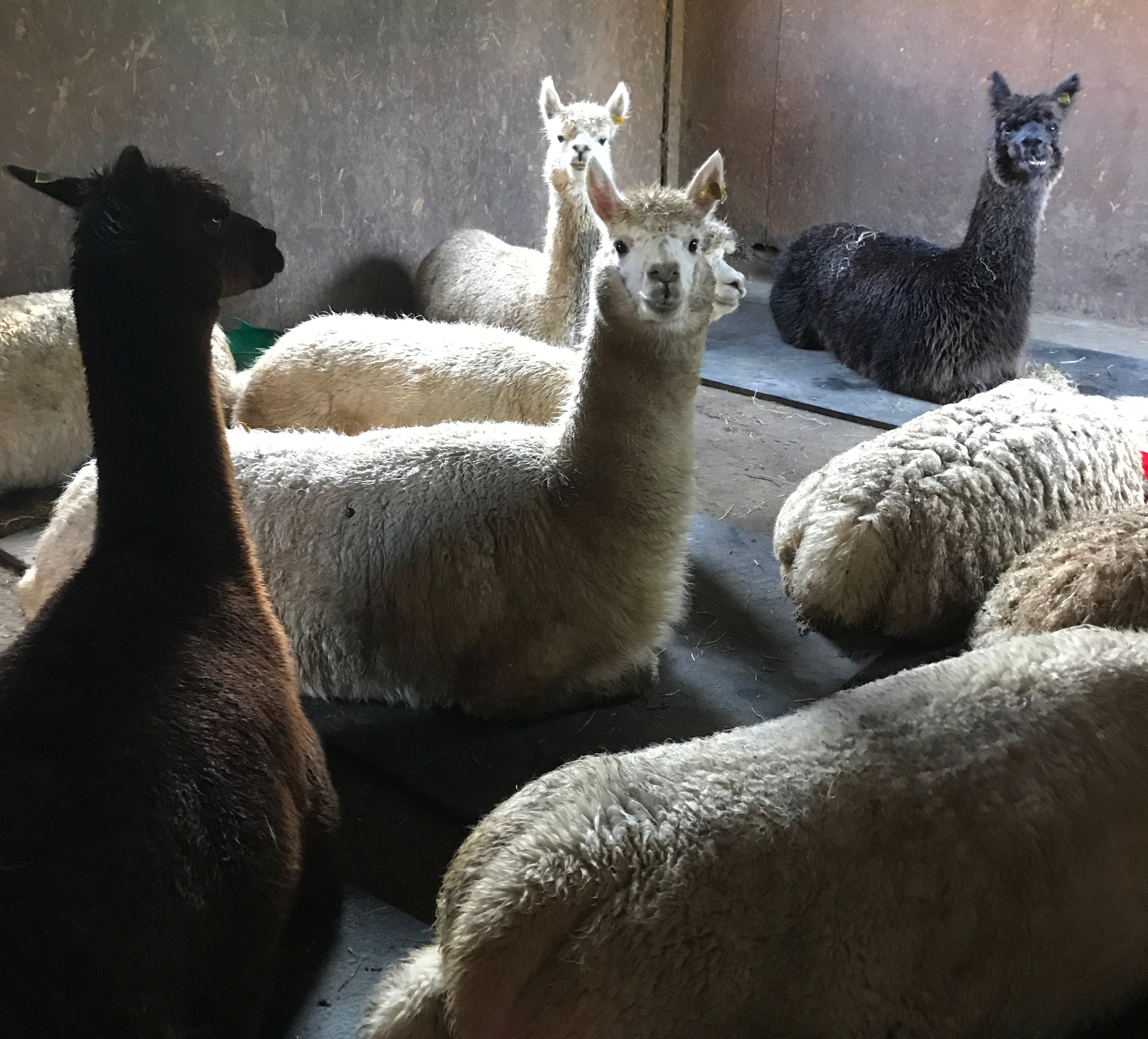 alpacas south wales cool stable