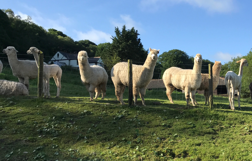 alpacas some and some sheared