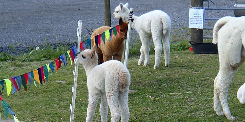 alpaca open days