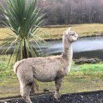 Amelia – alpaca with character