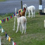 Alpaca Open Day – August Bank Holiday Monday 2017