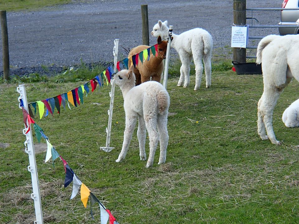 alpaca welcome