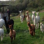 Alpaca Discovery Day