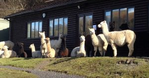 alpaca welcoming committee