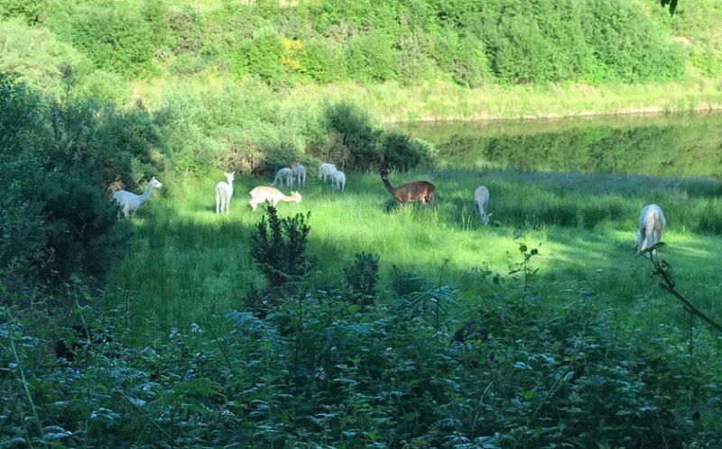 alpaca quiet corner