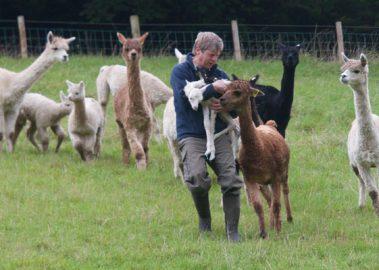 alpaca shepherd